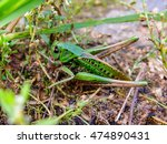 Small photo of Acrididae hides in grass. Locust active jumping insects. Large grasshopper in the summer. Bouncing strong locust.