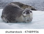 Leopard Seal On Ice Floe ...