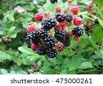 Red And Black Blackberries Bus...