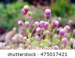 Small photo of Globe Amaranth Flower (Other names are Amaranthus, Tampala, Tassel Flower, Flaming Fountain, Fountain Plant, Joseph's Coat, Love-lies-bleeding, Amaranth, Molten Flower and Summer Poinsettia)