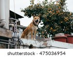dog is standing on a rooftop... | Shutterstock . vector #475036954