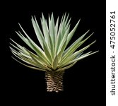 Small photo of Agave plant isolated on black backgroumd. clipping path. Agave plant tropical drought tolerance has sharp thorns.