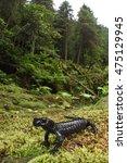 Small photo of alpine salamander (Salamandra atra). Wild adult specimen in its natural habitat on Italian Alps.