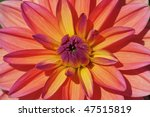 Colorful Dahlia Flower In The...