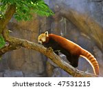 Backlit Red Panda  Taxonomic...