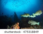 bumphead parrotfish close up... | Shutterstock . vector #475318849