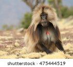 Male Gelada Baboon ...