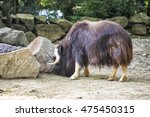 muskox  ovibos moschatus  is an ... | Shutterstock . vector #475450315