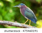 green heron  butorides... | Shutterstock . vector #475460191