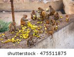 Group Of Rhesus Macaques ...