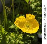Dazzling  Yellow  Poppies ...