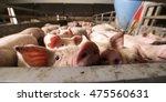 Pig At Factory