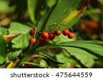 Lily Of The Valley Berries