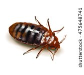 A Bed Bug Isolated On White