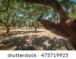 Forest Of Cork Trees In A Sunn...