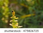 yellow bird asian golden weaver ... | Shutterstock . vector #475826725