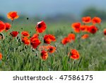 red poppies on field | Shutterstock . vector #47586175