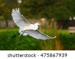 Great Egret  Ardea Alba  Flying