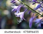 Blooming Purple Hosta In...