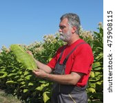 Small photo of Farmer or agronomist in tobacco plant field hold leaf in hands