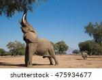 Big Vic  The Biggest Elephant...