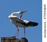Famili Of White Storks  Ciconi...