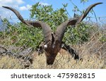 goat head with horns hanging on ... | Shutterstock . vector #475982815