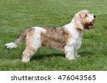 typical petit basset griffon...   Shutterstock . vector #476043565
