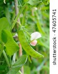 close up of growing snow peas | Shutterstock . vector #47605741