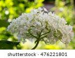 Hydrangea Arborescens  Smooth...