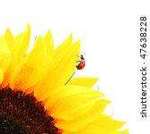 ladybug on sunflower - stock photo