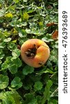"Small photo of Honey Bess eating on a peach because of a ""Nectar Dearth"" which is a shortage of nectar producing flowers"