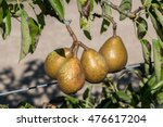 Pears Growing In A Tree