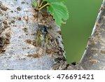 A Japanese Cicadas...