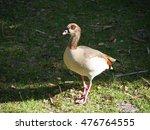 Egyptian Goose At Kirstenbosch...