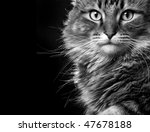 Stock photo striking maine coon cat face in black and white 47678188