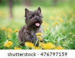 Cairn Terrier Sitting In Flowers