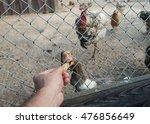 Feeding Geese Bread Closeup...