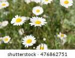 Flowers White Camomile On Glade