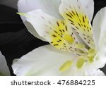Isolated Yellow Alstroemeria  ...