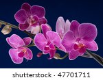 branch of orchid flower ... | Shutterstock . vector #47701711