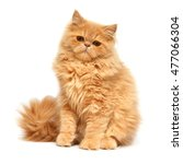 Stock photo beautiful red kitten isolated on white background persian cat 477066304