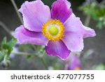 Anemone Hupehensis Japonica ...