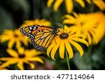 A Monarch Butterfly On A Black...