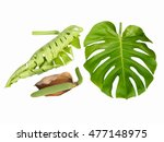 monstera leaf with new unfurled ... | Shutterstock . vector #477148975