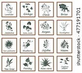 collection of ayurvedic herbs.... | Shutterstock . vector #477191701