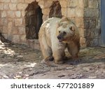 Small photo of Syrian bear - Ursus arctossyriacus - standing in the shadow of the day