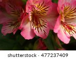 Small photo of Flowers of a cultivation form of the Peruvian lily (Alstroemeria aurea)