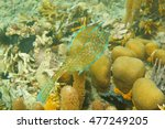 Small photo of Tropical fish, a scrawled cowfish, Acanthostracion quadricornis, underwater in the Caribbean sea