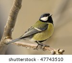 Cute Great Tit Perched On A Twig